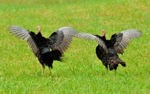 two turkeys in the smoky mountains